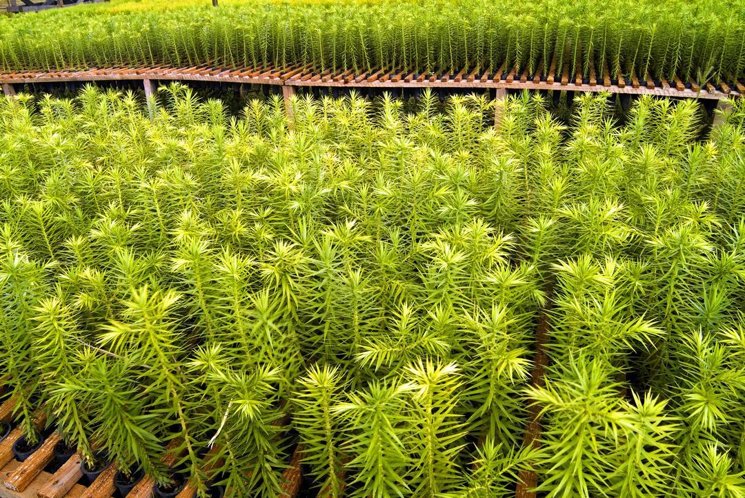 Parceria incentiva plantio de araucárias e conservação genética