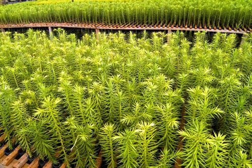 Parceria entre instituições garante o plantio de 2,8 mil mudas de Araucária no Paraná
